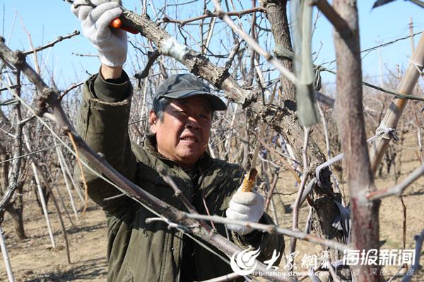 为了保证树势平衡,枣农锯掉枝杈,改善树冠内通风透光条件