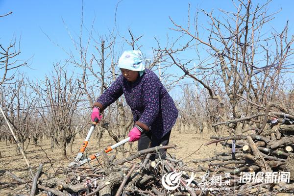枣农在整理修剪下来的枣树枝