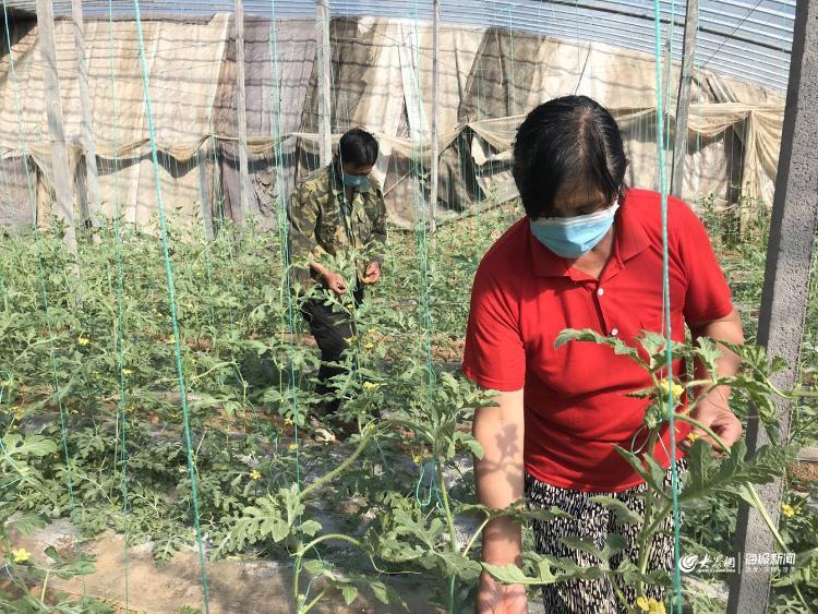 农户们正在西瓜棚内进行授粉定果