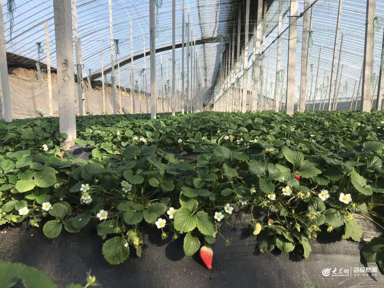 潍坊寿光大棚内配备自动控温与水肥一体化设备,保证蔬果优质口感