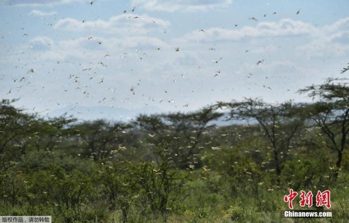 三部门:严防境外沙漠蝗入侵 做好国内蝗虫防治
