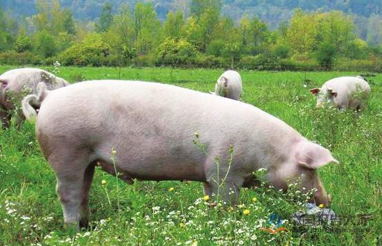 山东:生猪产能逐渐恢复,总体情况好于全国