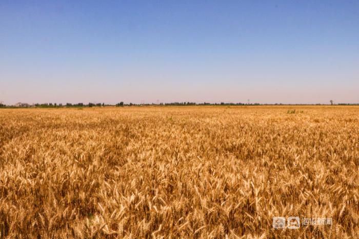 麦收时节|听东营农民伯伯这样说……