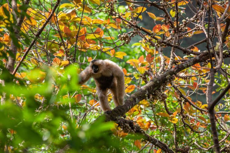 云南无量山西黑冠长臂猿种群数量增至104群