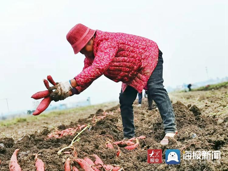 每亩收入过万 兰陵镇友期庄村首种蜜薯直供长三角
